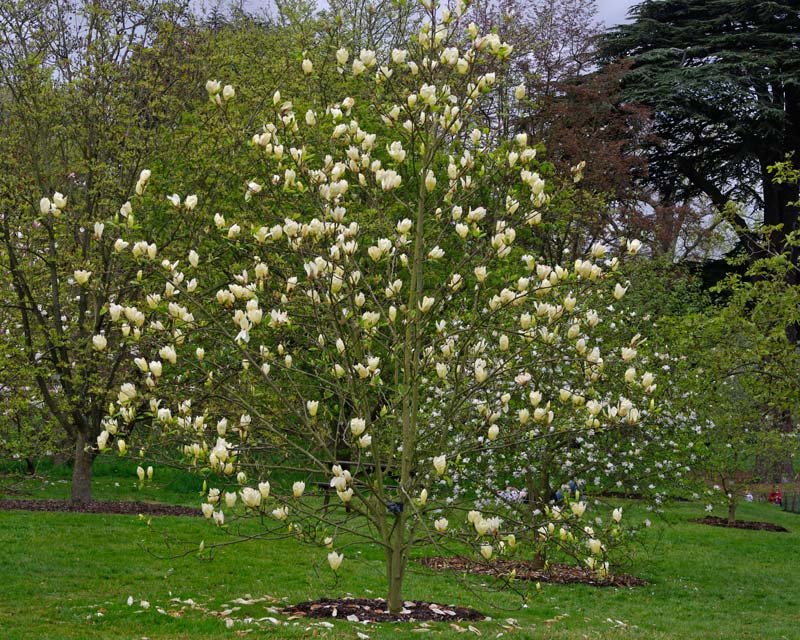 Gardensonline magnolia deciduous hybrids magnolia yellow lantern produces a mass of yellow flowers in spring photo kew gardens uk mightylinksfo Gallery