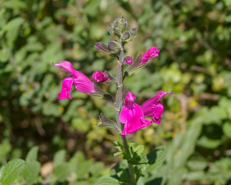 Salvia involucrata - Joan