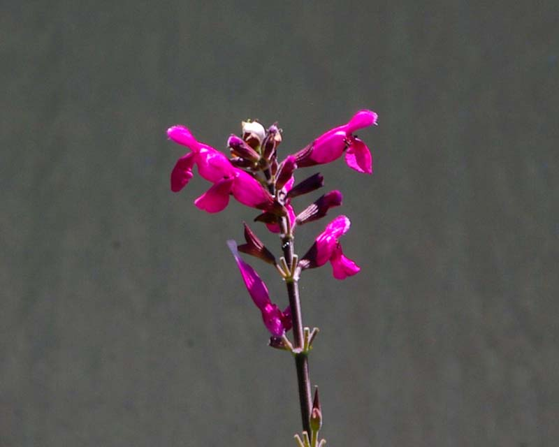 Salvia involucrata Joan had deep pink flowers