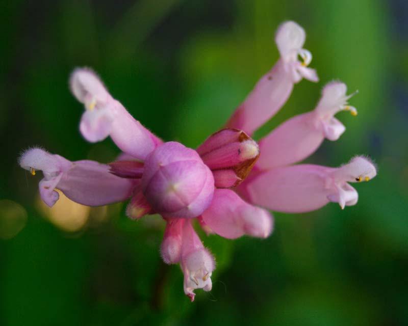 Salvia involucrata Pink Icicles