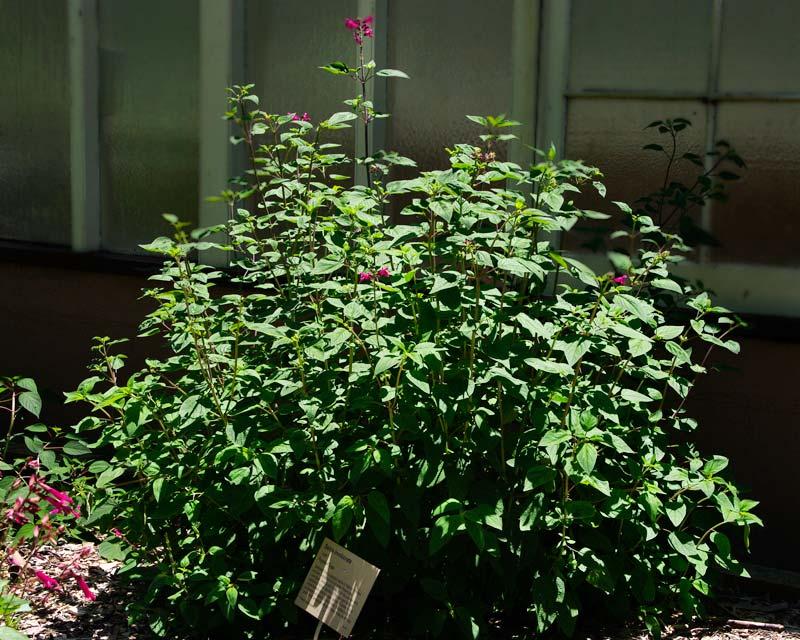 Salvia involucrata forms a dense clump -  Sydney Botanic Gardens