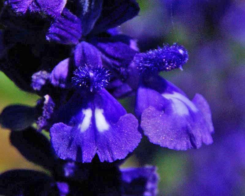 The deep blue flowers of a variety of Salvia nemorosa