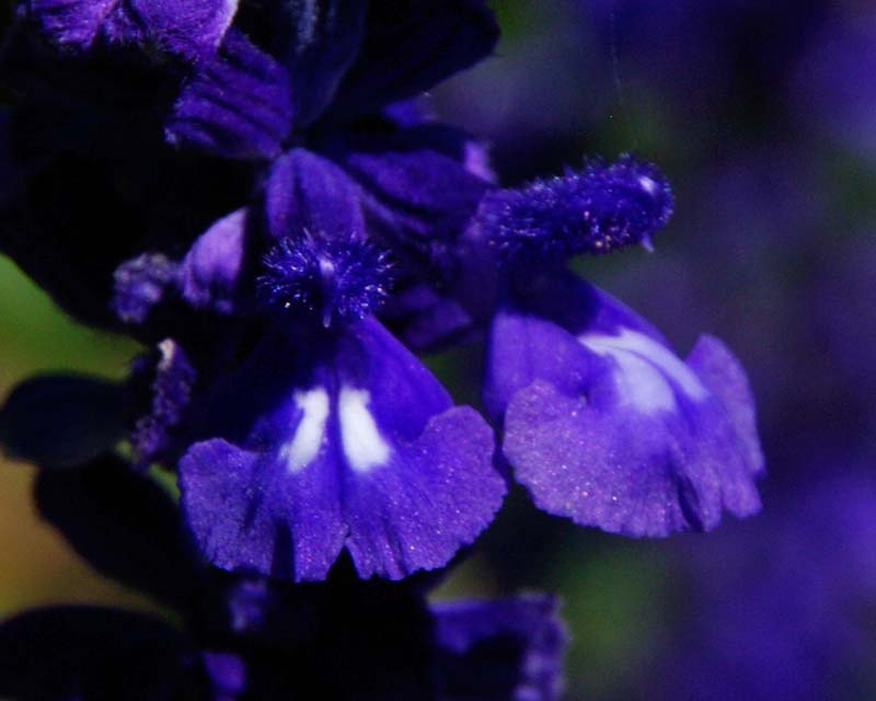 The deep blue flowers of a variety of Salvia nemorosa