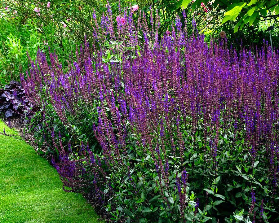 Salvia Nemorosa 'Caradonna' has tall spires of deep violet blue flowers and dark stems