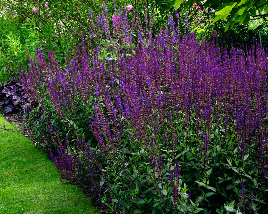Salvia Nemorosa 'Caradonna' has tall spires of deep violet blue flowers and dark stems