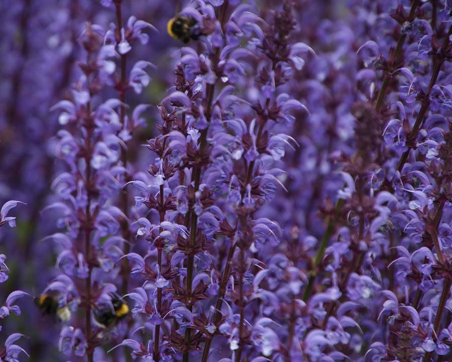 Salvia nemorosa 'Mainacht' - means 'May Night' in German