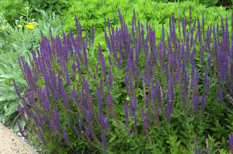 Salvia nemorosa  'Ostfreiseland'
