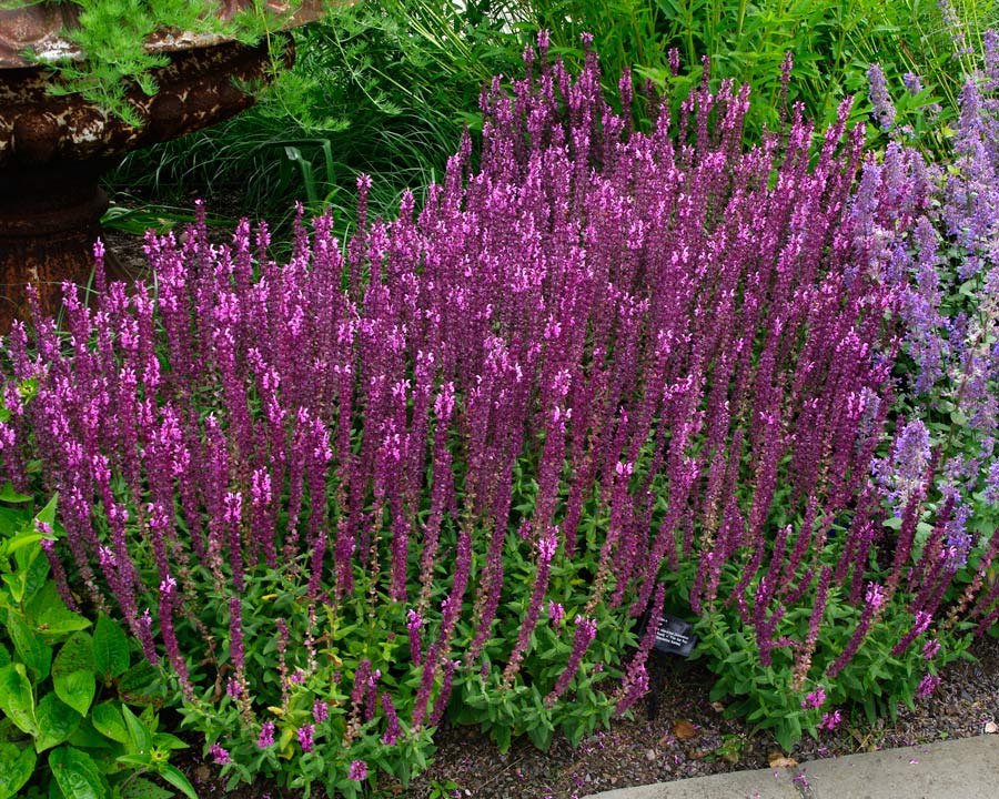 Salvia nemorosa 'Sensation Deep Rose'  Dark maroon stems and pink flowers