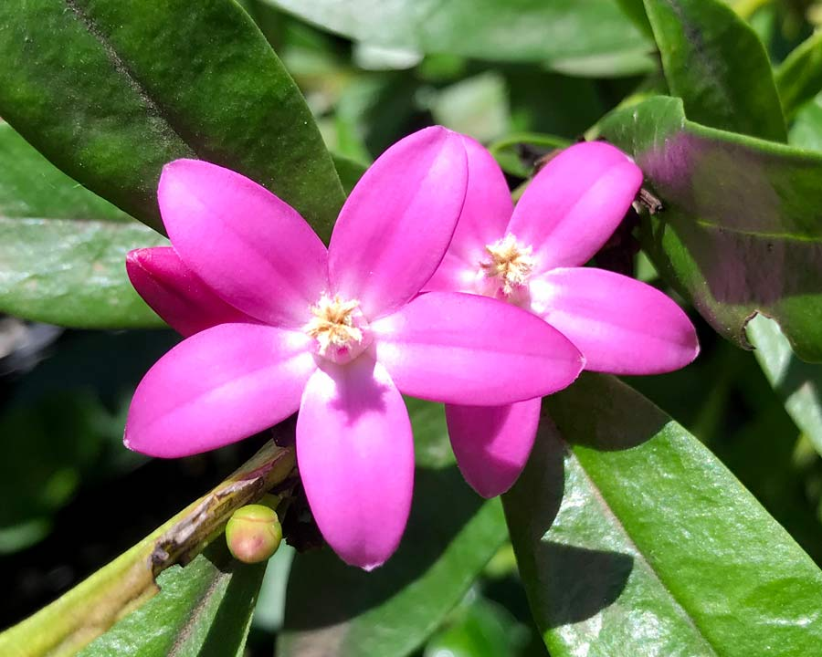 Crowea saligna - star-like pink flowers