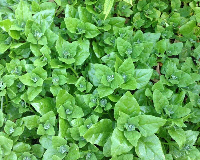 Tetragonia tetragonoides, New Zealand spinach