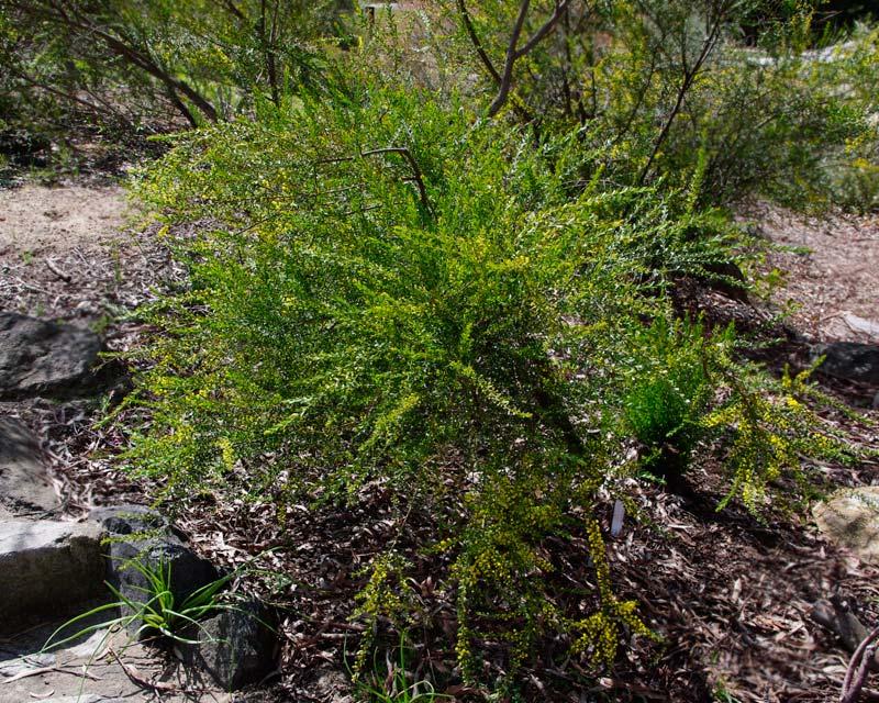Acacia acinacea - Sept Australian National Botanic Gardens Canberra