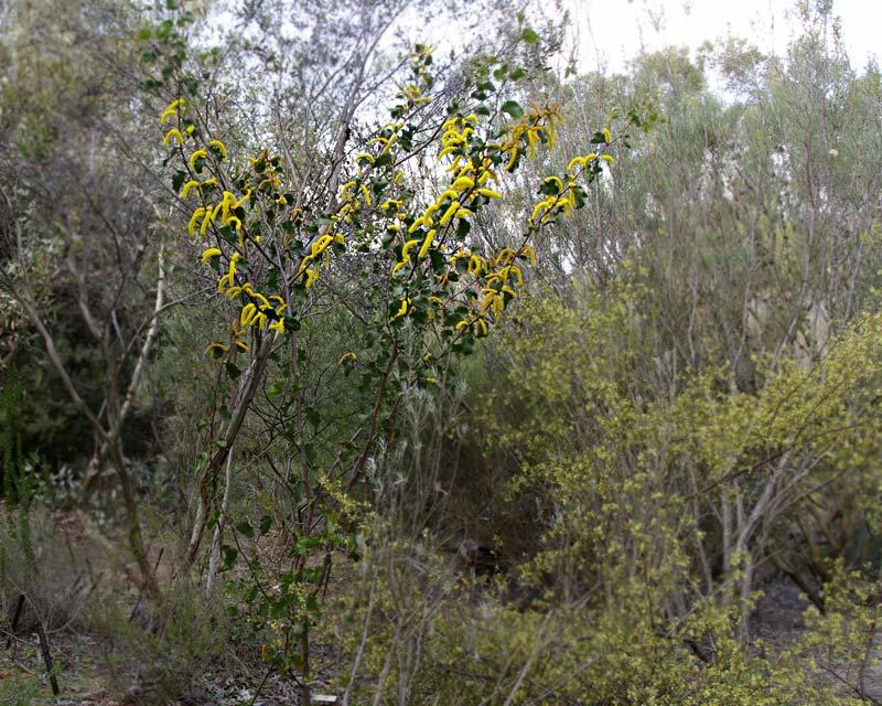 Acacia denticulosa photo taken in Sept Australian National Botanic Gardens Canberra