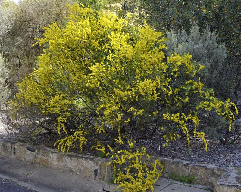 Acacia havilandiorum photo taken in Sept Australian National Botanic Gardens Canberra