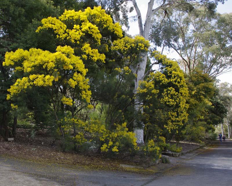 Acacia ingramii - Sept Australian National Botanic Gardens Canberra