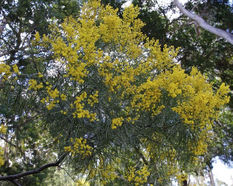Acacia ingramii