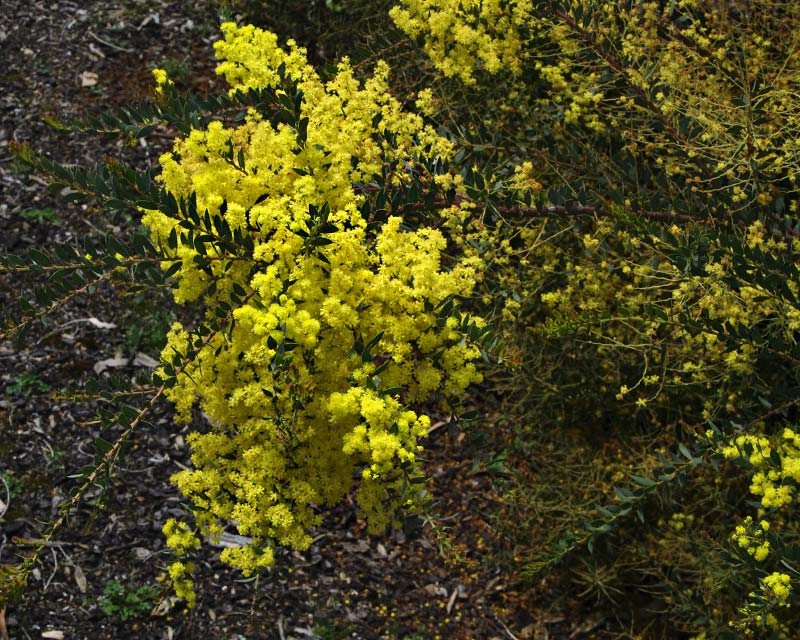 Acacia kettlewelliae pravissima