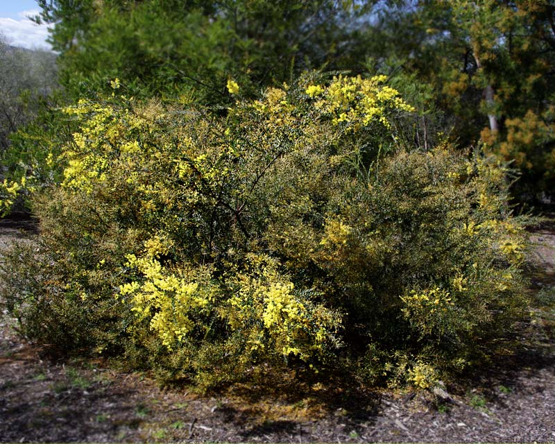 Acacia kettlewelliae pravissima  photo taken in Sept Australian National Botanic Gardens Canberra