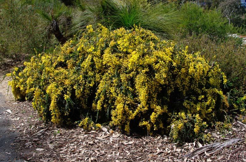 Acacia pravissima Kuranga Cascade - Sept Australian National Botanic Gardens Canberra