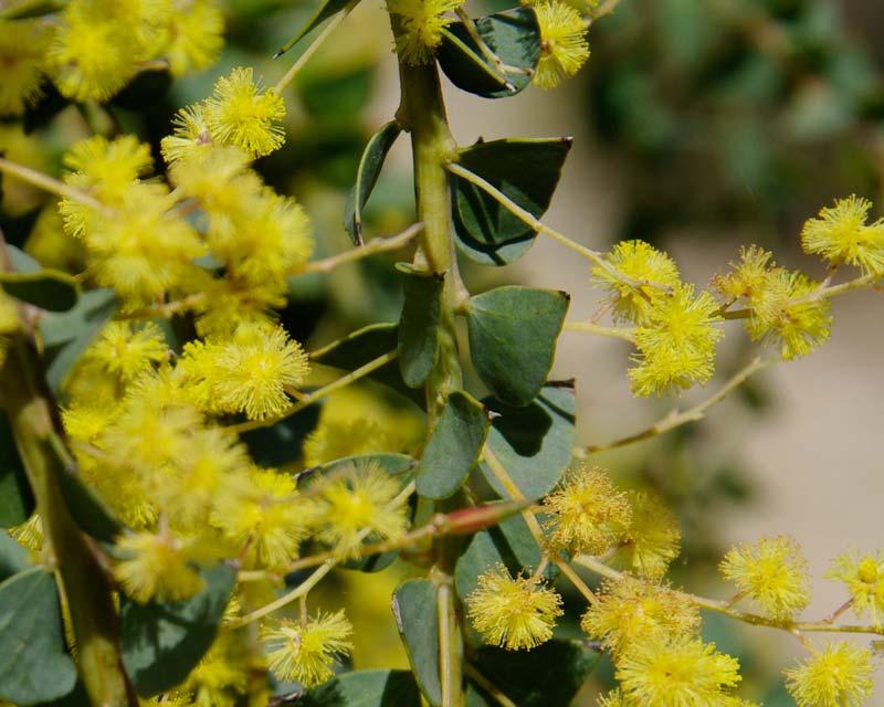 Acacia pravissima Kuranga Cascade