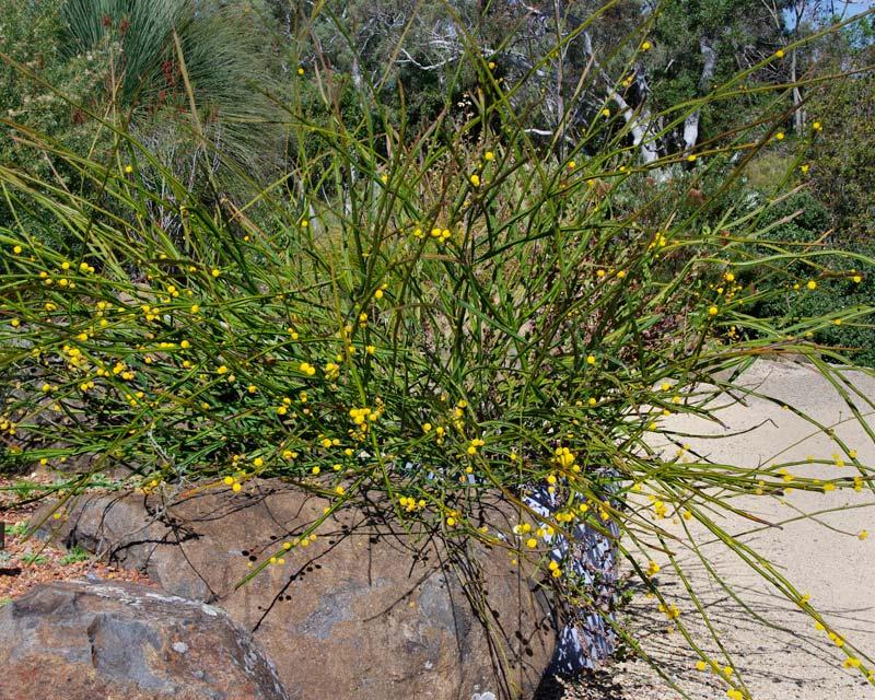Acacia pterocaulon - Sept Australian National Botanic Gardens Canberra