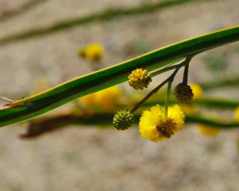 Acacia pterocaulon
