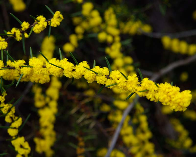 Acacia rhigiophylla