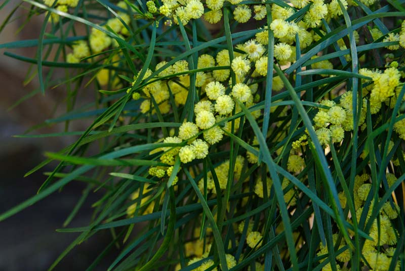 Acacia viscidula