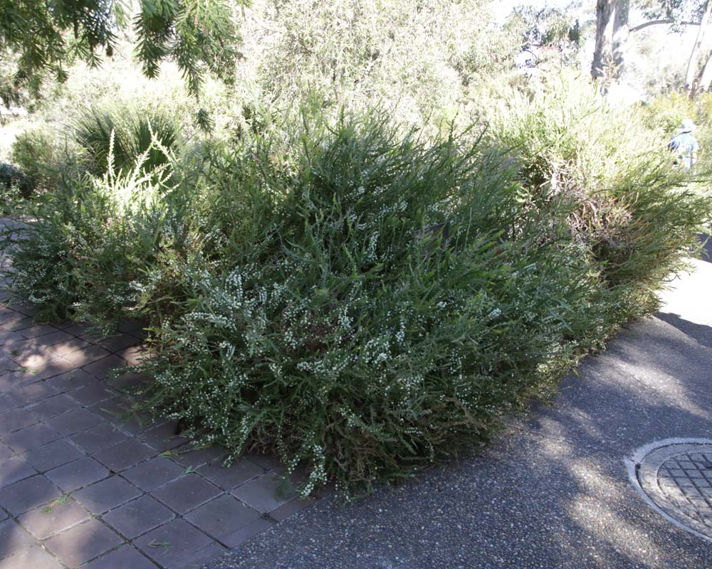 Acacia alata biglandulosa