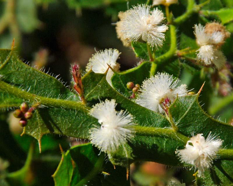 Acacia alata var. Biglandulosa