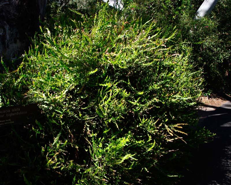 Acacia alata var. Biglandulosa  - Sept Australian National Botanic Gardens Canberra