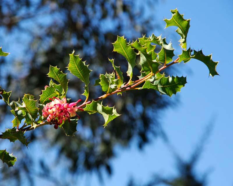Grevillea insignis subsp insignis