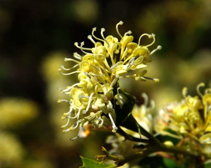 Grevillea monticola
