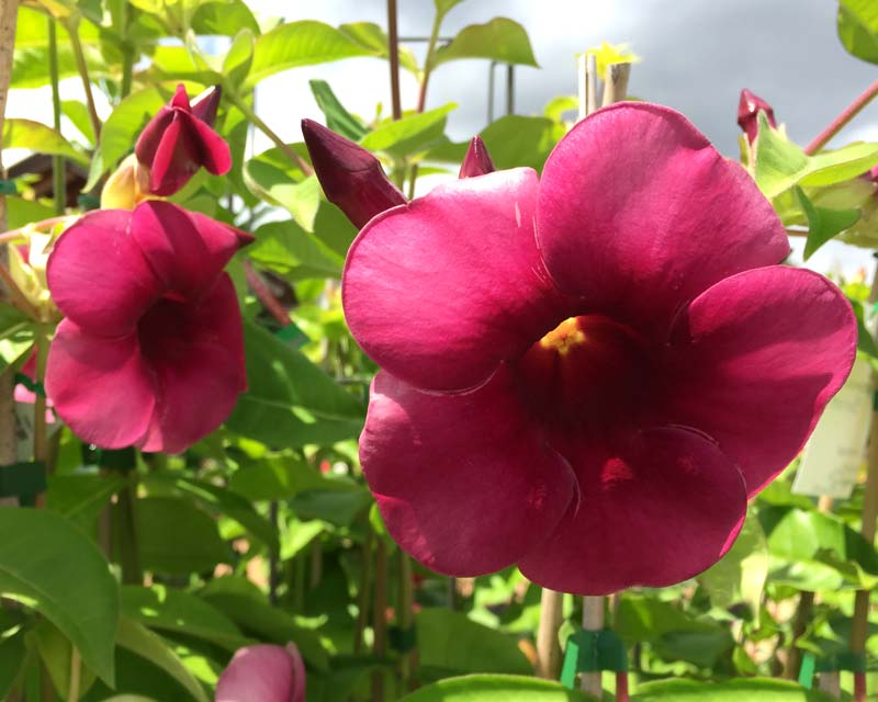 During the summer months the flowers of Allamanda Winter Velvet are a lighter red