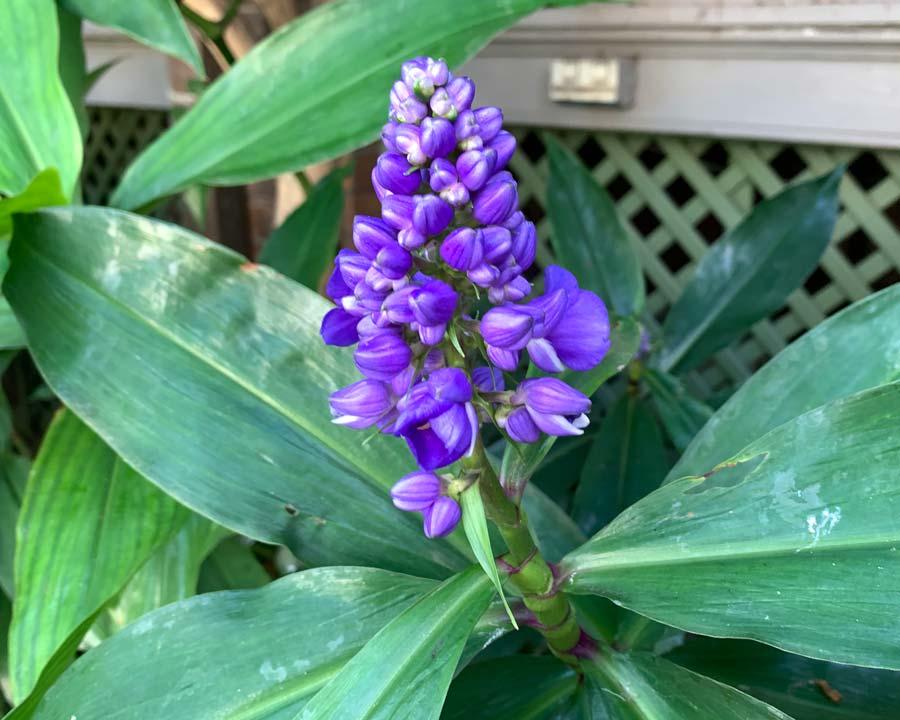 Dichorisandra thrysiflora - Blue Ginger