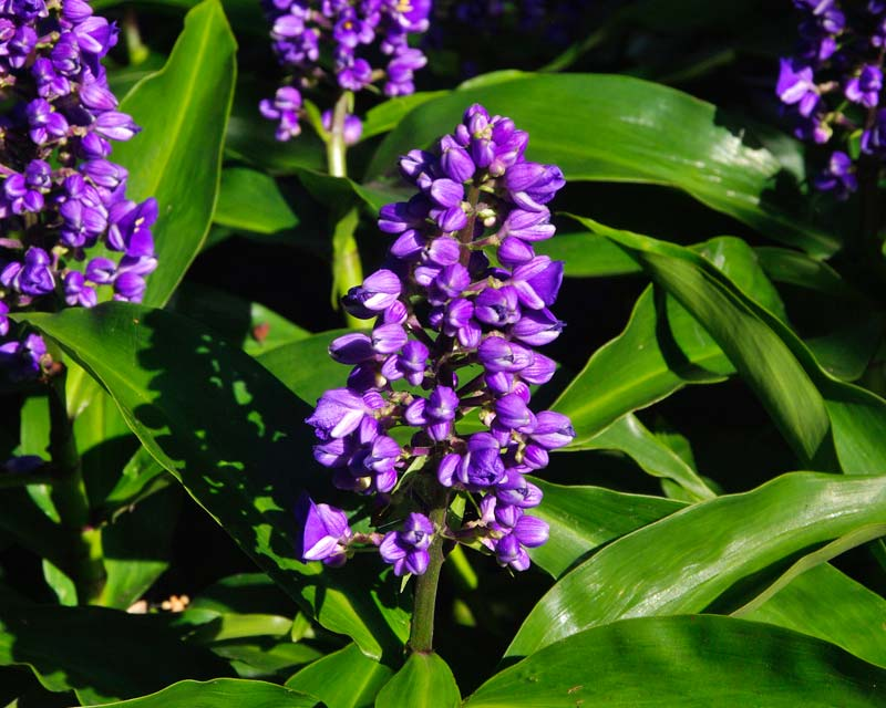 Dichorisandra thyrsiflora - Blue Ginger