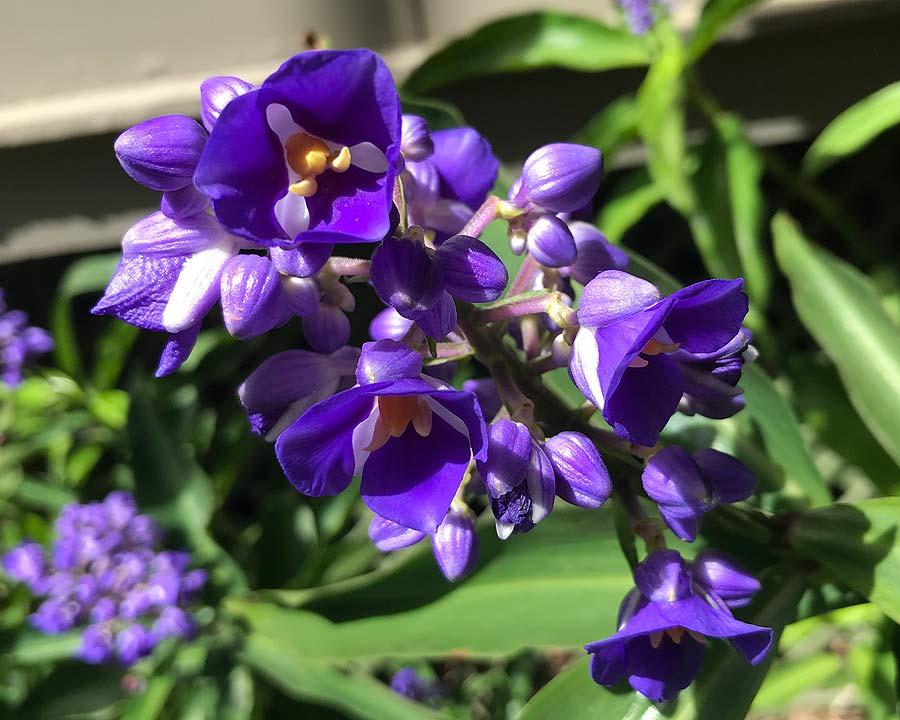 The purple blue flowers of Blue Ginger - Dichorisandra thrysiflora