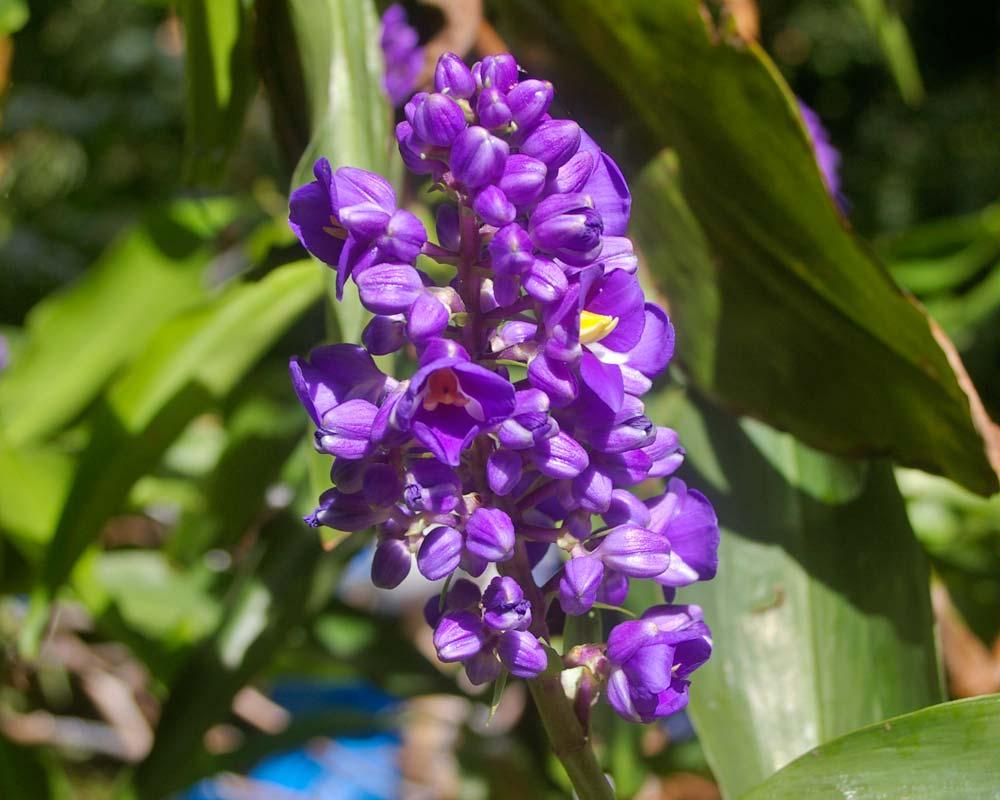 Dichorisandra thyrsiflora - Blue ginger