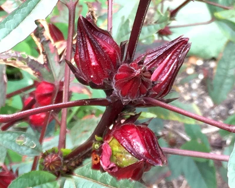 Rosella - The deep red calyces protect the seed capsule - are used drinks and jams