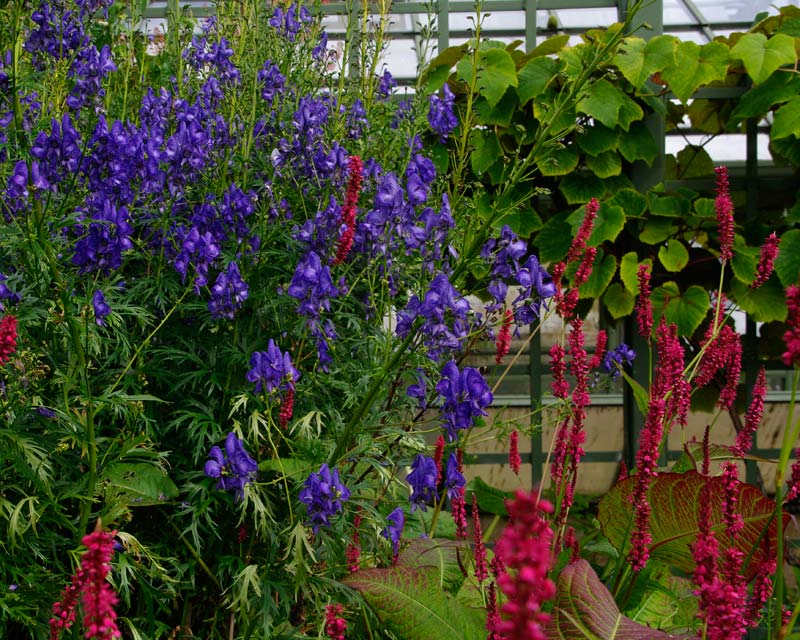 Great colour contrast of Persicaria and Aconitum