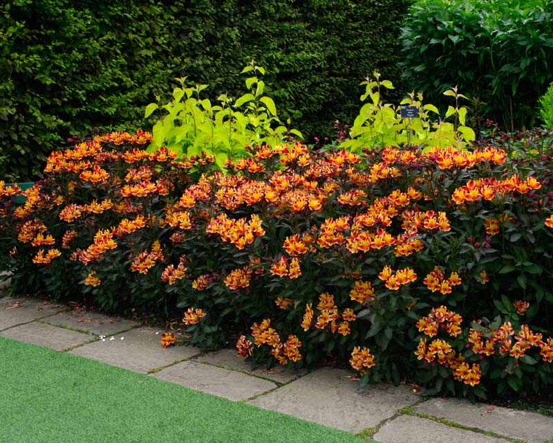 Gardensonline Alstroemeria Hybrids
