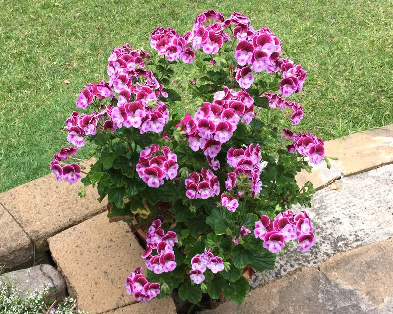 Pelargonium 'Baby Snooks' - wonderful flower display in spring