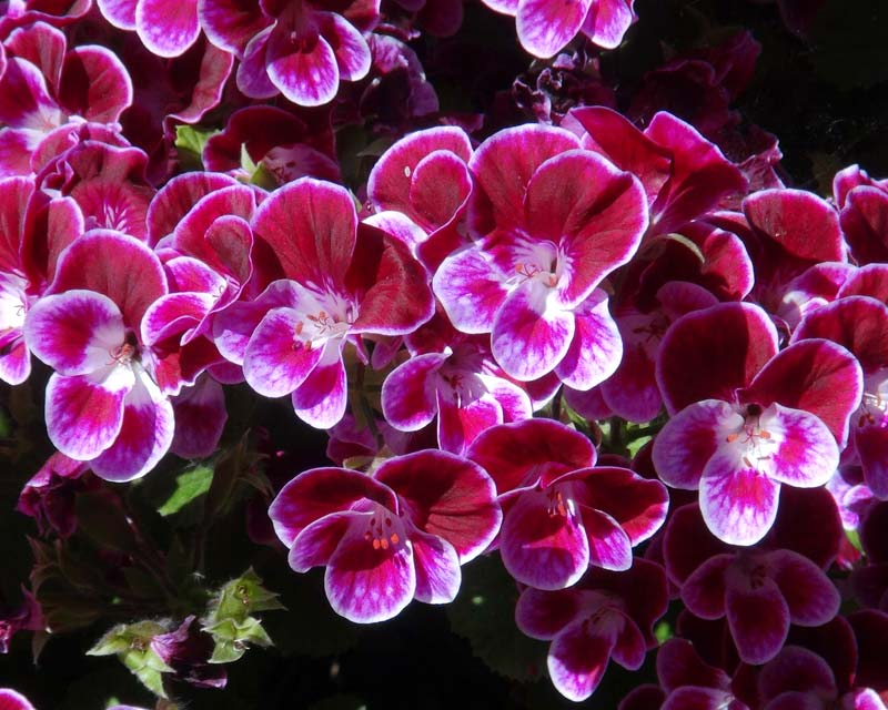 Angel Pelargonium - Henry Weller - flowers have purple upper petals that are edged with white and lower petals that are white and purple