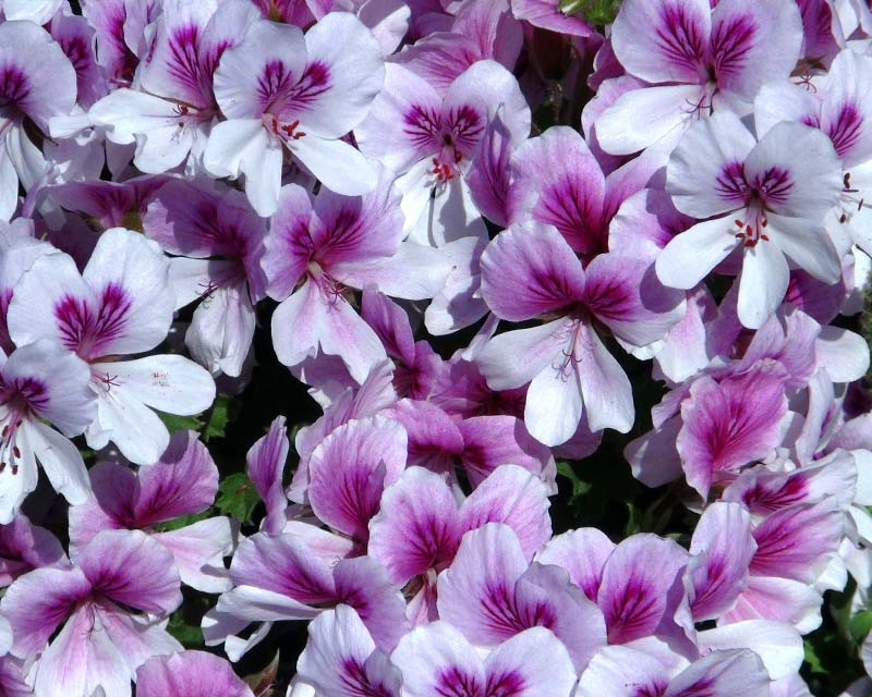 Angel pelargonium - Imperial Butterfly - pale pink flowers - the upper petals have cerise markings