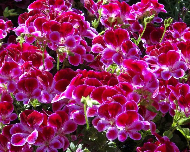Angel Pelargonium - Angel Eyes Burgundy maroon and pink petals