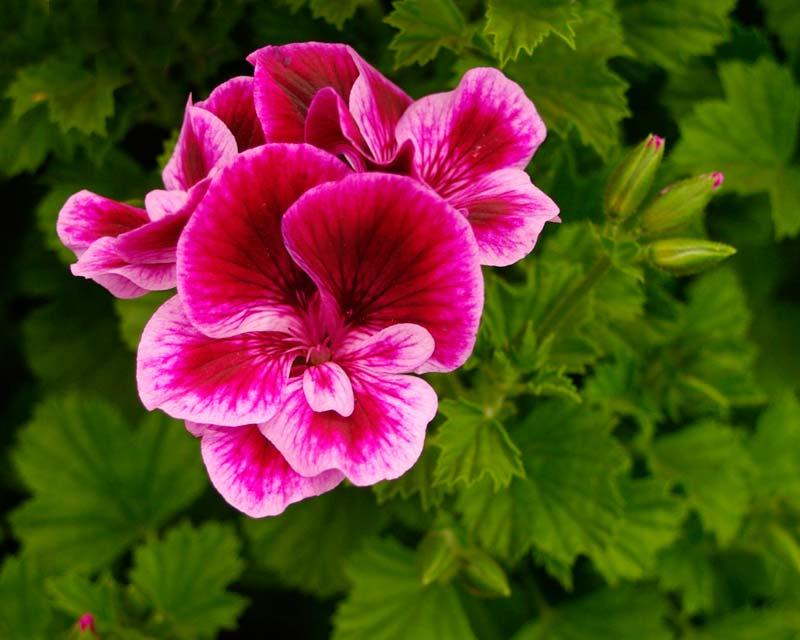 Angel pelargonium -Berkswell Carnival - Flowers have deep magenta upper petals and pink and magenta lower petals