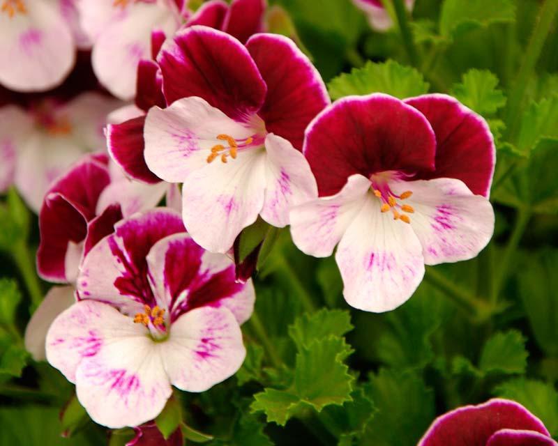 Angel Pelargonium Quantock Classic - has red-purple upper petals and white lower petals tinged with purple