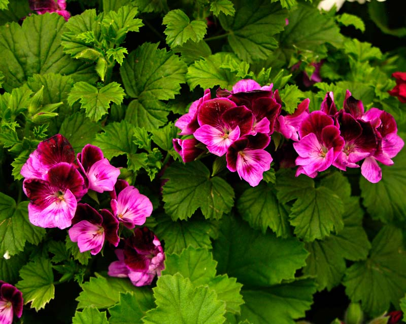 Angel Pelargonium -The Culm has deep purple upper petals and pink and flecked with purple lower petals