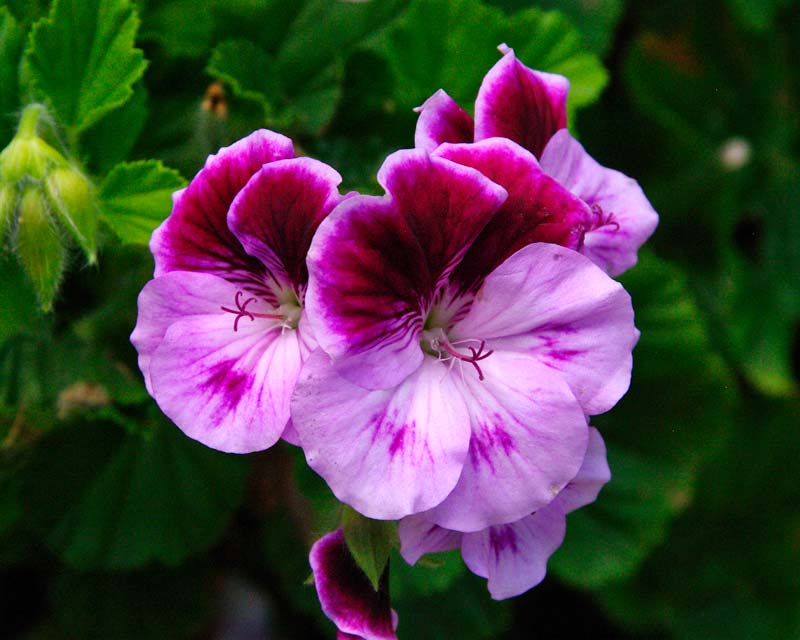 Pretty purple and pale pink flowers of 'Baby Snooks'