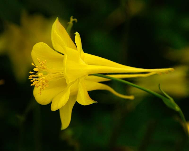 The yellow flower of Aquilegia chrysantha