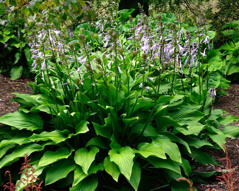 Hosta Medium Cultivars Gardensonline